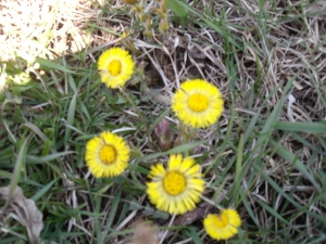 Springtime The First Wild Flowers - Coltsfoot